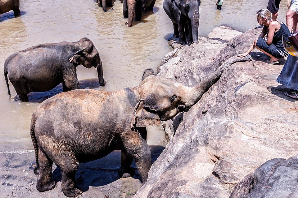 Elephants bathing, Pinnawela Elephant Orphanage, Sri Lanka.
