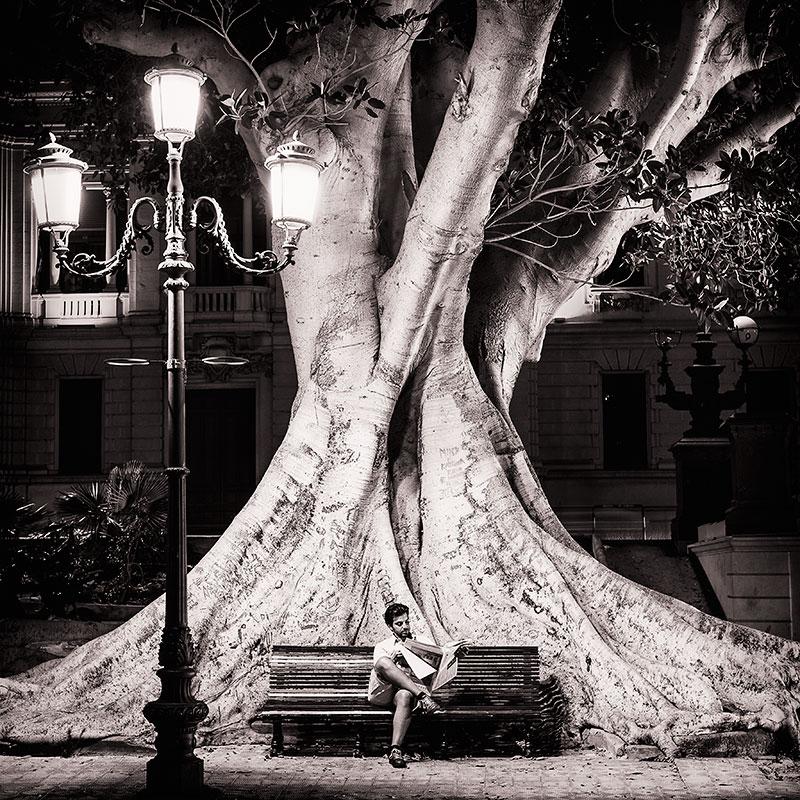 Big ficus macrophylla tree, Reggio Calabria, Italy.