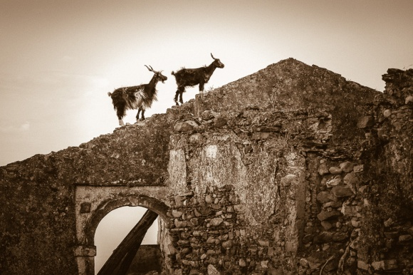 Goats walking on the ruins of Brancaleone Superiore, Calabria, Italy.